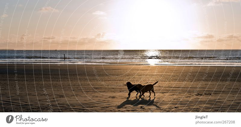 Golden times Playing Beach Ocean Island Waves Environment Nature Landscape Spring North Sea Ameland Animal Pet Dog Labrador 2 Walking Black Enthusiasm Life