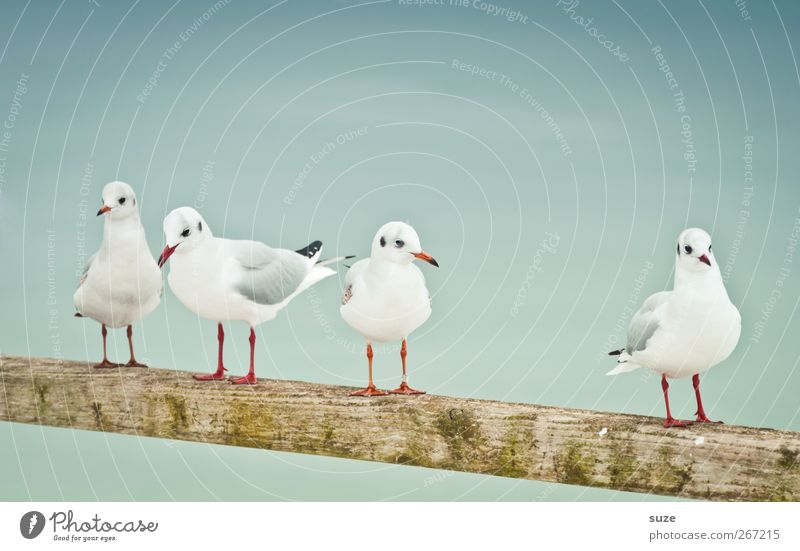 four wins Environment Nature Animal Elements Air Sky Wild animal Bird Wing 4 Group of animals Wood Stand Wait Cold Small Funny Cute White Seagull Handrail