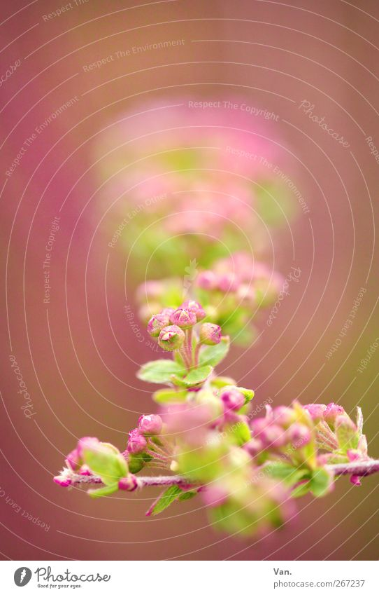 pink-red Nature Plant Spring Bushes Leaf Blossom Twig Bud Garden Bright Beautiful Warmth Green Pink Colour photo Multicoloured Exterior shot Close-up Detail