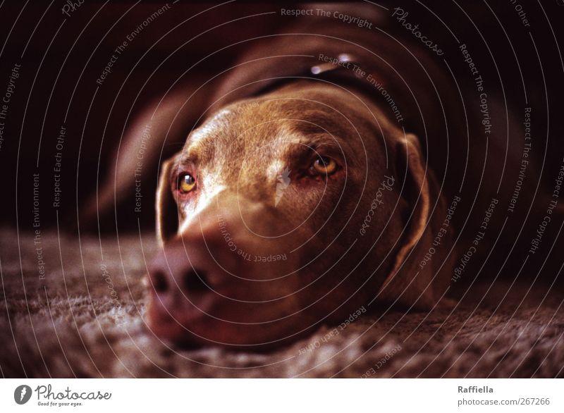 Dog Animal Eyes Dream Brown Lie Nose Pelt Animal face Pet Carpet Doze Neckband