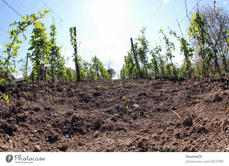 Spring in Slavonia Plant Earth Sky Cloudless sky Sun Sunlight Beautiful weather Foliage plant Garden Field Deserted Sand Blossoming Growth Blue Brown Green