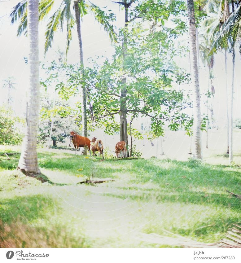 Nature Vacation & Travel Far-off places Forest Meadow Grass Brown Beautiful weather Asia Pasture Exotic Virgin forest Cow Analog Palm tree Meat