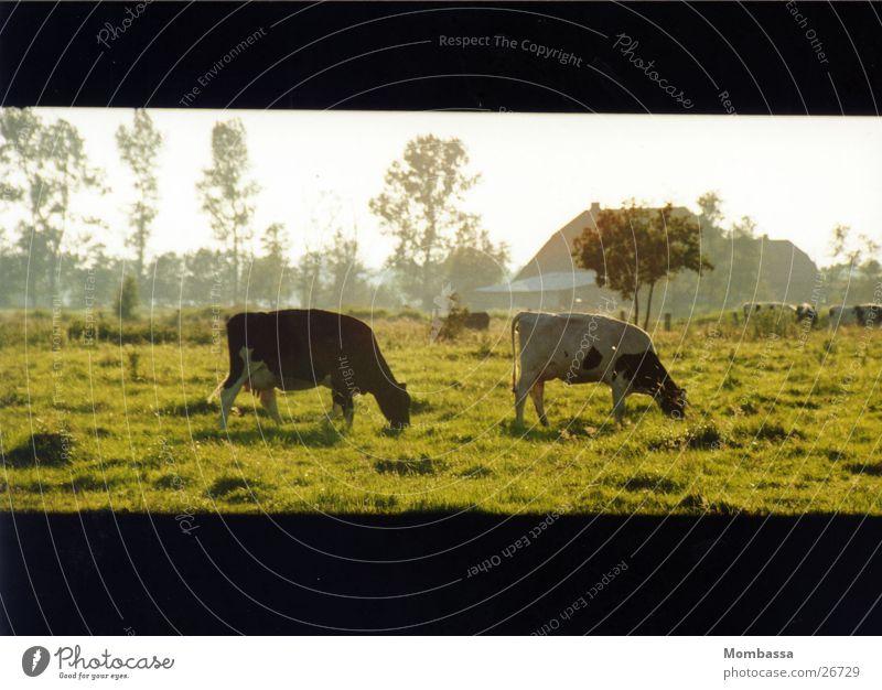 Meadow Transport Cow Dusk Plain