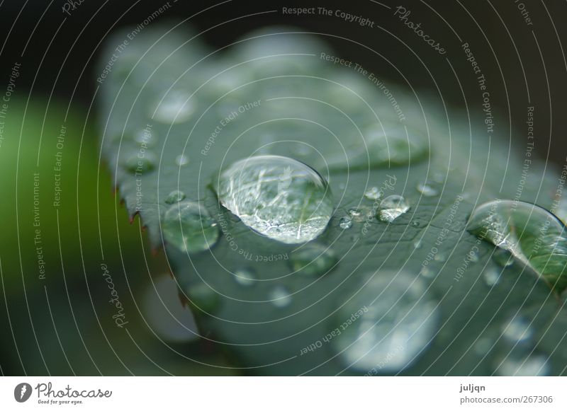 autumn morning dew Garden Nature Drops of water Autumn Plant Rose Leaf Fresh Near Wet Round Juicy Green Colour photo Exterior shot Macro (Extreme close-up)
