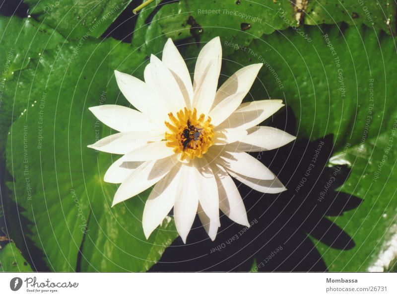 Lotus blossom in leaf coat Blossom White Aquatic plant