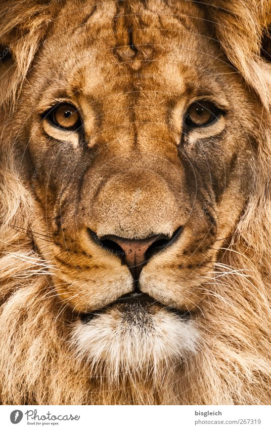 lion Animal Wild animal Animal face Zoo Lion Lion's mane Eyes 1 Looking Soft Brown Power Willpower Might Brave Pride Colour photo Exterior shot Deserted Day