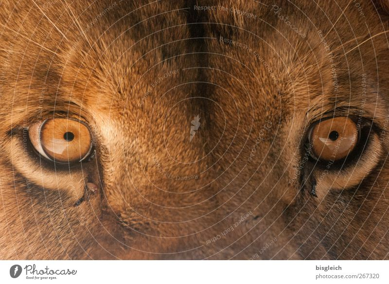 Animal Eyes Brown Power Wild animal Might Curiosity Mysterious Animal face Zoo Brave Willpower Lion Determination