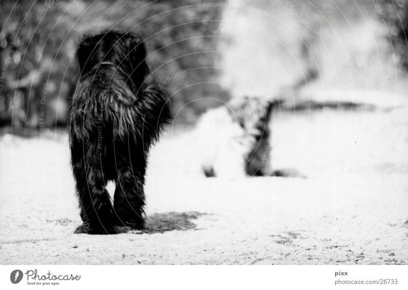 old friends Summer Lanes & trails Pelt Pet Dog 2 Animal Black White Moody Calm Expectation Briard Herding dog Encounter Black & white photo Rear view Watchdog