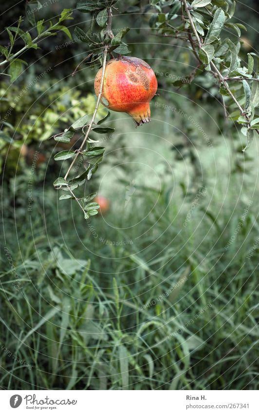 Nature Green Tree Red Landscape Autumn Grass Natural Garden Fruit Harvest Paradise Mature Pomegranate