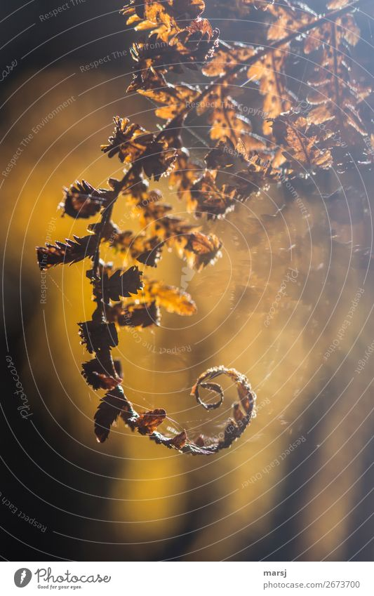 Autumn Sadness Exceptional Illuminate Dream Gold Elegant Surrealism Spiral Fern Wild plant Cobwebby Rotated