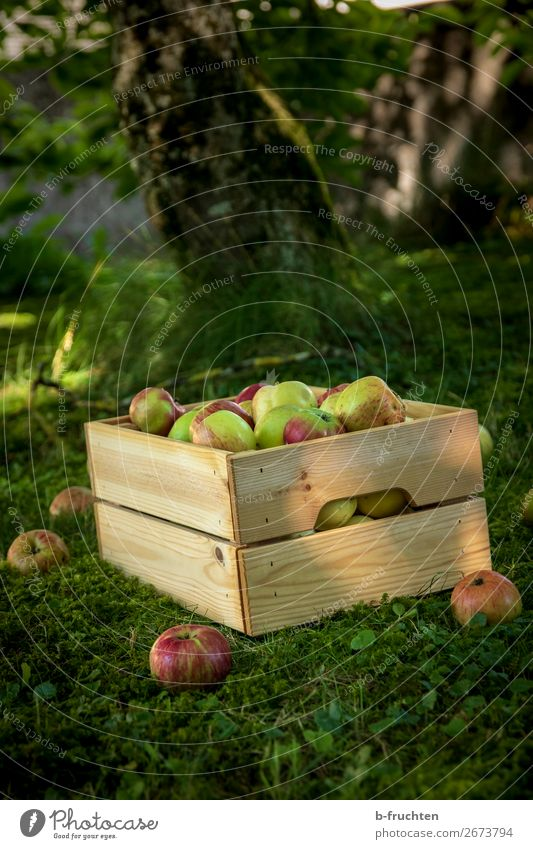 orchard meadow, apple harvest Food Fruit Apple Organic produce Vegetarian diet Healthy Eating Gardening Agriculture Forestry Box Work and employment Select