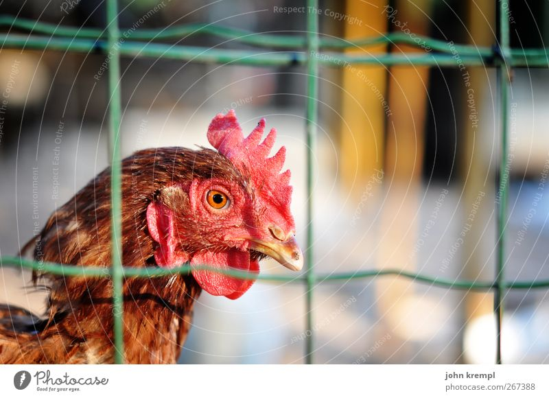 Red Loneliness Animal Eyes Sadness Stand Feather Observe Fence Environmental protection Captured Barn fowl Penitentiary Survive Surveillance Compassion