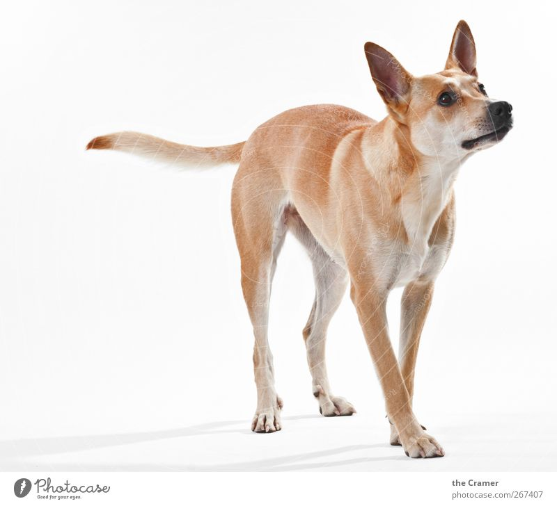 Lotte 02 Animal Dog Animal face Pelt Claw Paw 1 Observe Fitness Listening Wait Athletic Healthy Muscular Brown Yellow Gold Red White Anticipation Loyal