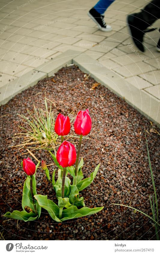 tulip walk 2 Human being Spring Plant Tulip Pedestrian Lanes & trails Going Illuminate Esthetic Authentic Movement Relationship Nature Town Flowerbed