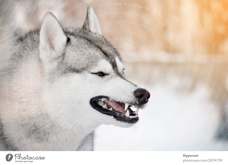 Grinning gray dog showing teeth closeup side portrait Winter Snow Teeth Dog Gray White Dangerous cold Frost Husky Posture siberian husky Wolf predator danger