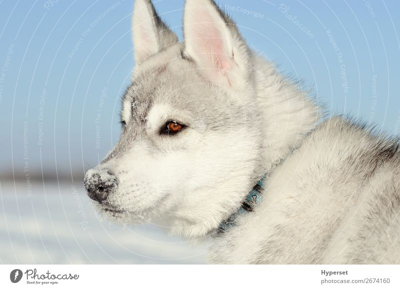 Siberian husky dog puppy gray and white side closeup Face Winter Snow Teeth Sky Meadow Stand Dream Natural Cute Blue Gray Black White Colour The Arctic polar