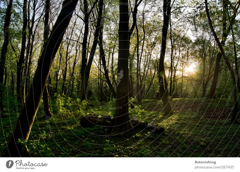Evening in the forest Environment Nature Landscape Sky Sun Spring Summer Weather Beautiful weather Warmth Plant Tree Grass Bushes Moss Leaf Foliage plant Garden