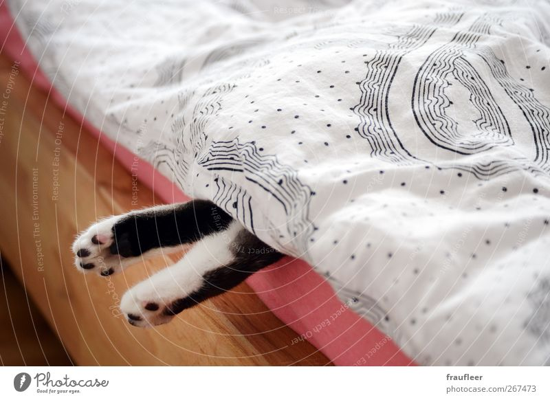 Cat White Animal Black Relaxation Wood Feet Brown Pink Lie Sleep Living or residing Bed Observe Boredom Pet