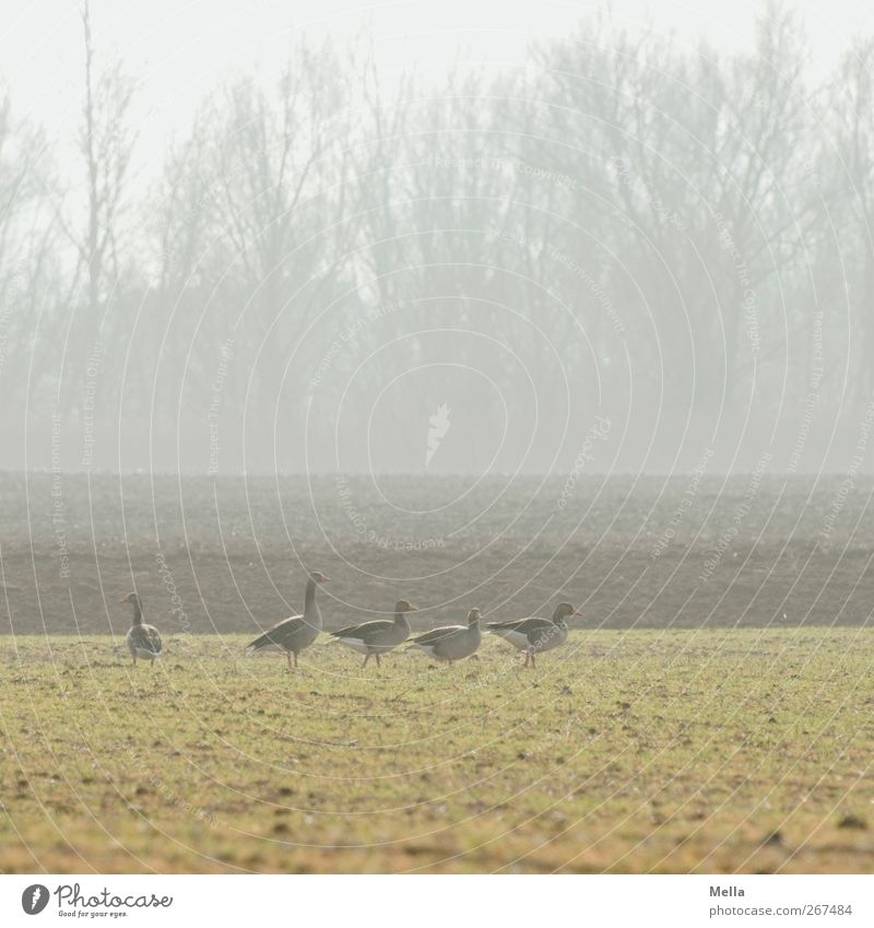 goose morning Environment Nature Landscape Animal Meadow Field Wild animal Goose Gray lag goose Group of animals Looking Stand Free Together Natural Green