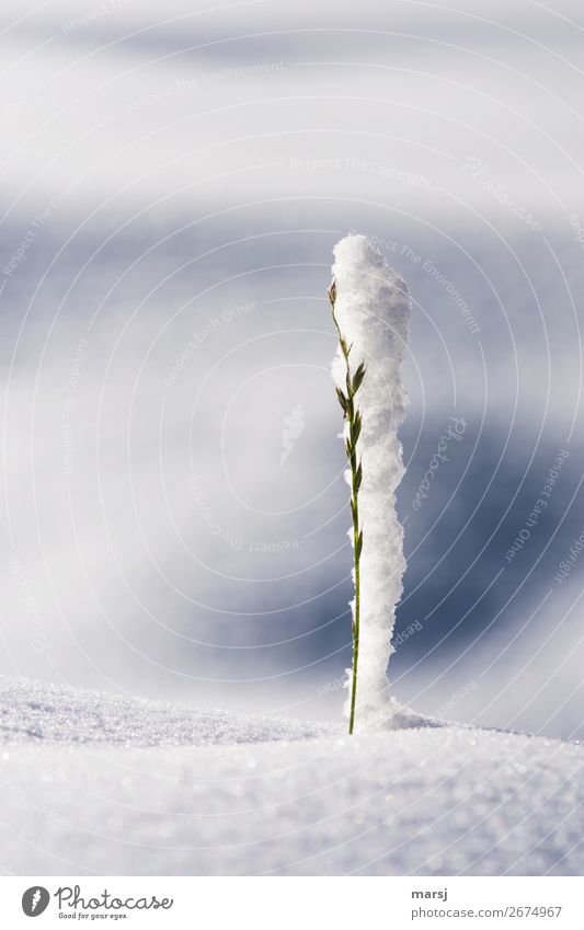 Nature Winter Snow Grass Stand Attachment Surprise Whimsical Narrow Endurance Hold Connectedness Prop Unwavering Symbiosis Support