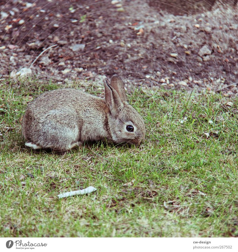 Nature Green Beautiful Animal Meadow Grass Gray Garden Park Field Sit Pelt Zoo Hare & Rabbit & Bunny Pet Mammal