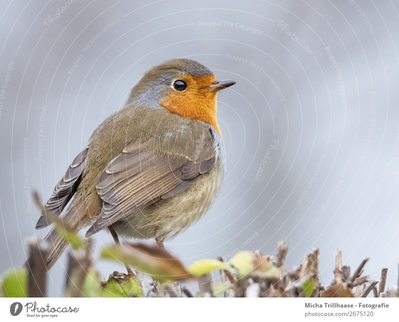 Redthroat Portrait Nature Animal Sky Sunlight Beautiful weather Bushes Wild animal Bird Animal face Wing Claw Robin redbreast Beak Feather Eyes 1 Observe