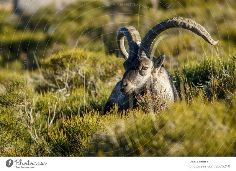 Western Spanish ibex Relaxation Hunting Biologist Masculine Environment Nature Animal Grass Mountain Wild animal 1 Stand Love of animals