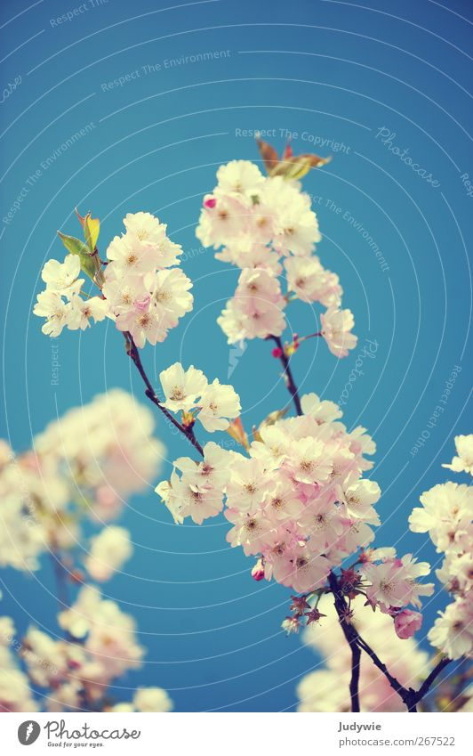 Beauty & Beauty Environment Nature Plant Sky Cloudless sky Spring Beautiful weather Tree Flower Cherry blossom Blossom Blossoming Growth Esthetic Fragrance Blue