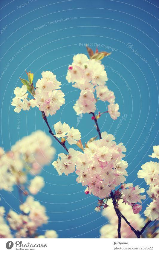 Sky Nature Blue Beautiful Tree Plant Flower Environment Feminine Spring Blossom Pink Esthetic Growth Idyll Beautiful weather