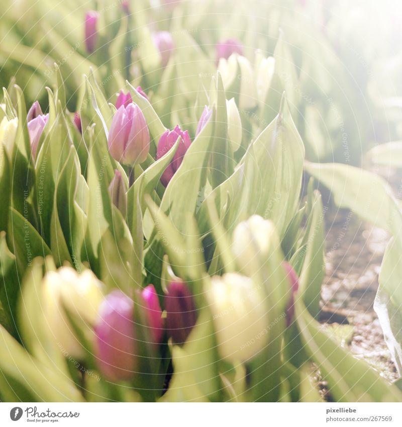 Tulip sunbath Harmonious Garden Nature Plant Earth Sun Spring Summer Beautiful weather Flower Blossoming Fragrance To enjoy Illuminate Dream Growth Esthetic