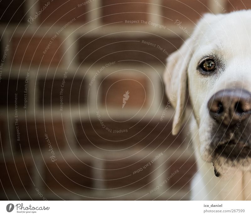 ...half labi... Elegant Wall (barrier) Wall (building) Facade Animal Pet Dog Animal face 1 Looking Leisure and hobbies Advertising Contentment Labrador Brick
