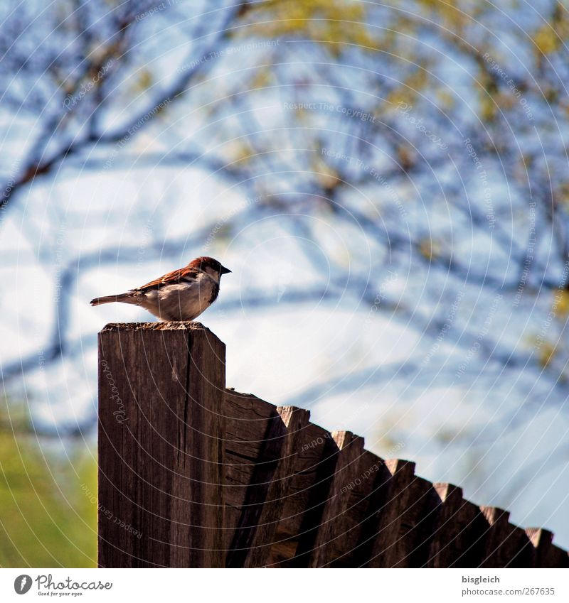 Fence King II Animal Bird Sparrow 1 Wood Looking Sit Small Blue Brown Green Watchfulness Colour photo Exterior shot Deserted Copy Space top Day