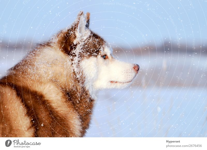 Husky purebred dog in the vast snowfal Winter Snow Animal Snowfall Coat Fur coat Pet Dog Blue Gray White Closed Purebred no leash Side flakes cold eyes
