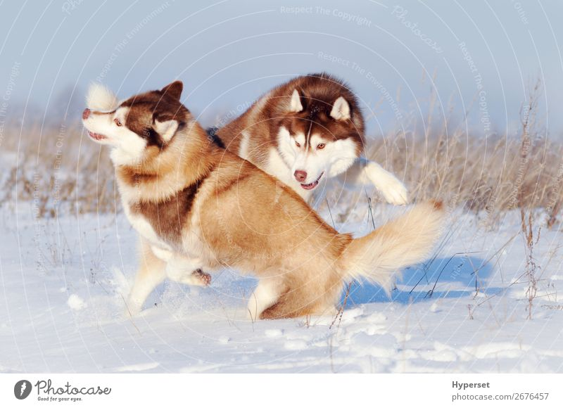 Two red and white siberian huskies dogs playing Joy Happy Playing Winter Snow Wallpaper Pet Dog Cute Brown Red White wall office two rolling having young walk