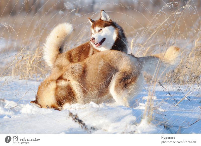 Two red and white siberian huskies dogs Joy Happy Playing Winter Snow Wallpaper Pet Dog Cute Brown Red White falling wall office two rolling having young walk