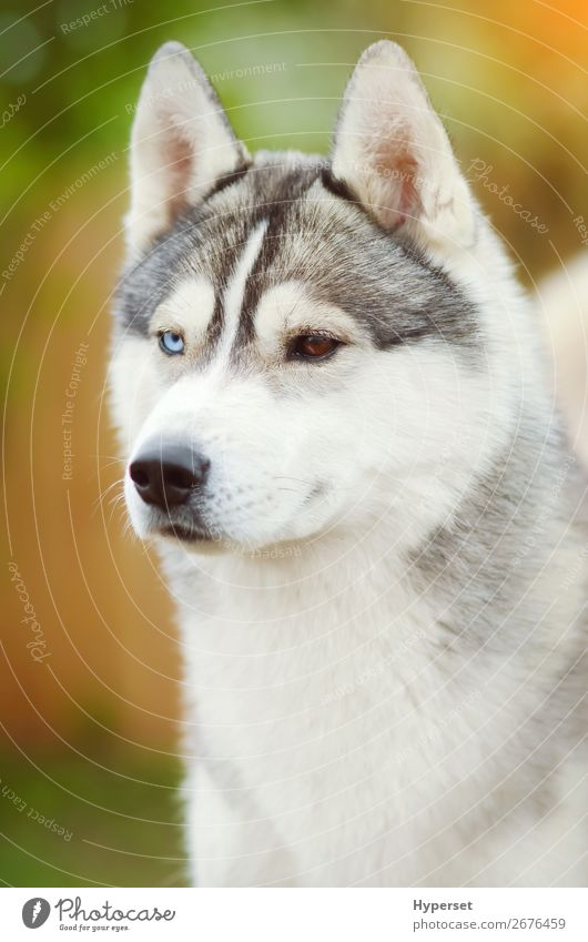 Dog face close up siberian husky Beautiful Face Summer Adults Animal Pet Exceptional Blue Brown Gray White Self-confident Colour Vertical young Earnest eyes