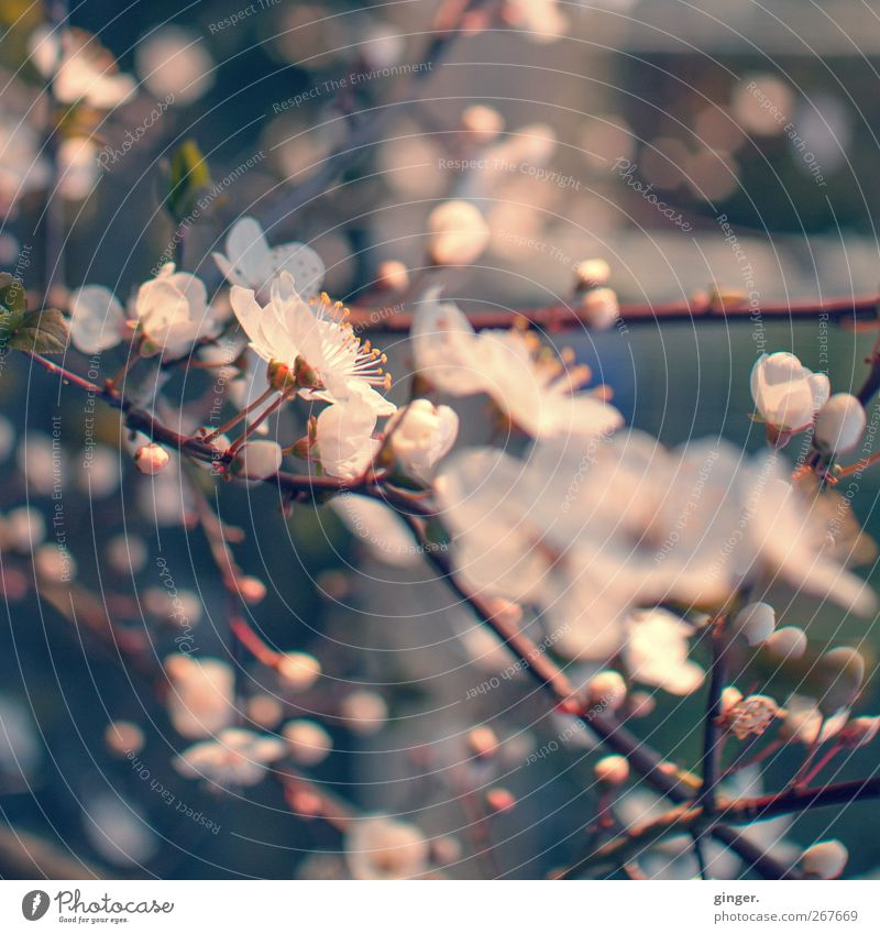Nature Plant White Flower Environment Spring Blossom Pink Growth Climate Blossoming Beautiful weather Point Many Delicate Fragrance