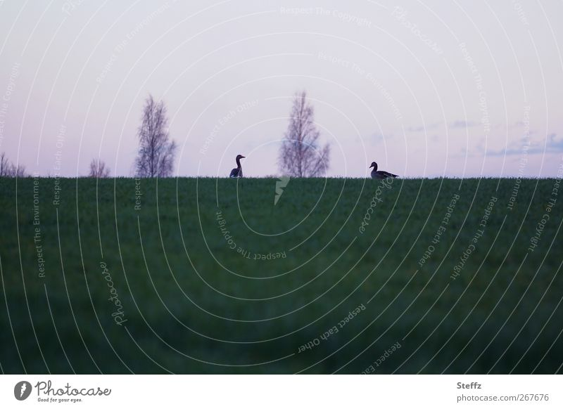 Nature Animal Calm Environment Meadow Grass Spring Horizon Bird Together Pair of animals Hill Violet Dusk Goose Face to face