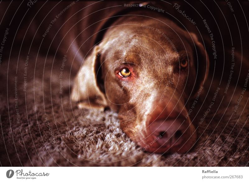Dreamer II Animal Pet Dog Animal face 1 Observe To enjoy Lie Looking Brown Eyes Ear Nose Neckband Carpet Fatigue Doze Colour photo Interior shot Deserted Day