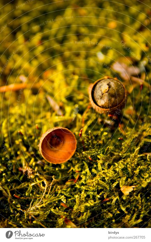 fates Nature Plant Moss Acorn Seed head Lie Wait Authentic Fragrance Small Natural Warmth Brown Yellow Green Transience Change Woodground 2 Versatile