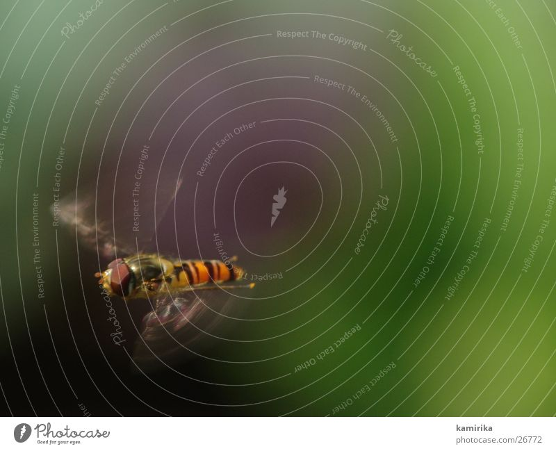 Flower Green Summer Fly Flying Transport Bee Hover Bumble bee Stamen Brakes Nectar Hover fly