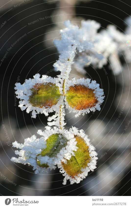 Plant Green White Leaf Winter Black Yellow Cold Garden Orange Brown Gray Park Ice Frost Ice crystal