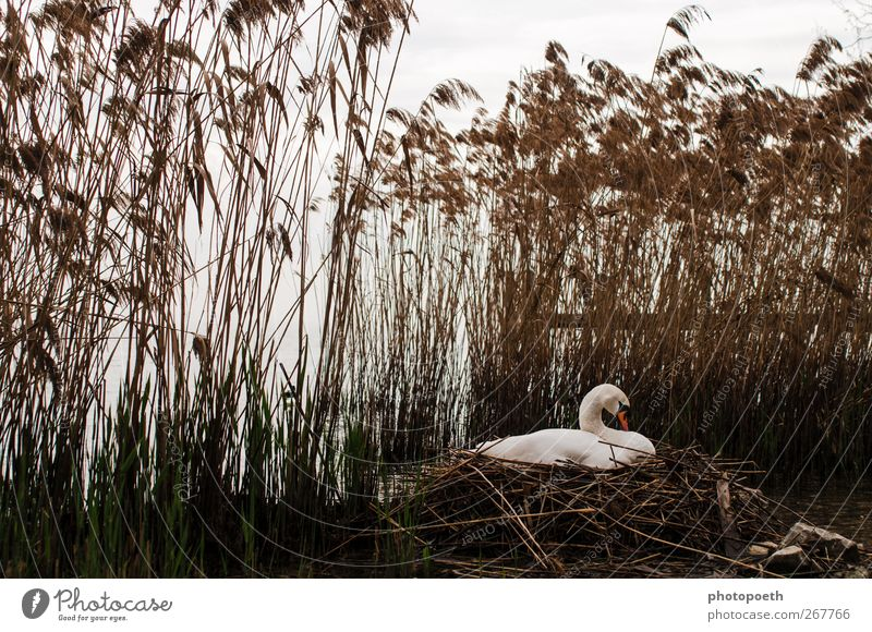 Lake Garda Swan Nature Animal Lakeside Wild animal 1 Moody Common Reed Parental care Incubating Nest Love and security Colour photo Subdued colour Exterior shot