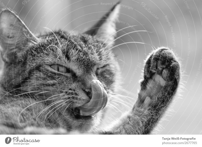 Cat cleans nose Animal Pet 1 Exceptional Funny Cute Contentment Safety (feeling of) Love of animals Joie de vivre (Vitality) Ease Joy Black & white photo