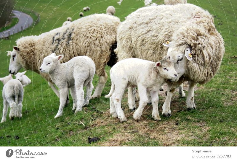 sheep mother Farm animal Sheep Flock Herd Baby animal Animal family Authentic Friendliness Together Happy Cute Trust Safety Safety (feeling of) Agreed Sympathy