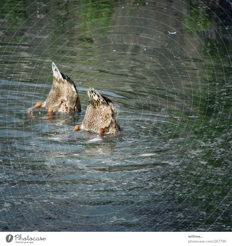Water Animal Funny Swimming & Bathing Fear Pair of animals Wet Curiosity Hind quarters Dive Discover Refreshment Hide Float in the water Teamwork Duck