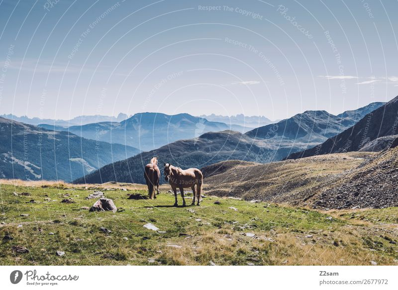 Horses in the South Tyrolean Alps Hiking Climbing Mountaineering Nature Landscape Summer Beautiful weather 2 Animal Stand Esthetic Elegant Sustainability