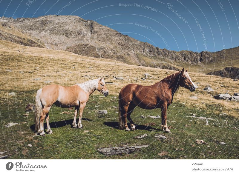 Horses on the South Tyrolean Hirzer | E5 crossing the Alps Hiking Climbing Mountaineering Nature Landscape Summer Beautiful weather Meadow Peak 2 Animal Stand
