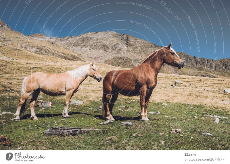 Horses in the South Tyrolean Alps Hiking Climbing Mountaineering Nature Landscape Summer Beautiful weather Meadow Animal 2 Stand Happy Sustainability Natural