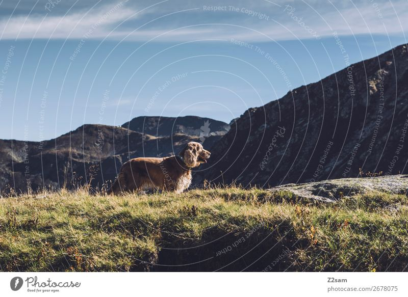 Dog on mountain tops Hiking Climbing Mountaineering Nature Landscape Cloudless sky Summer Beautiful weather Meadow Alps Observe Relaxation Looking Happy Natural